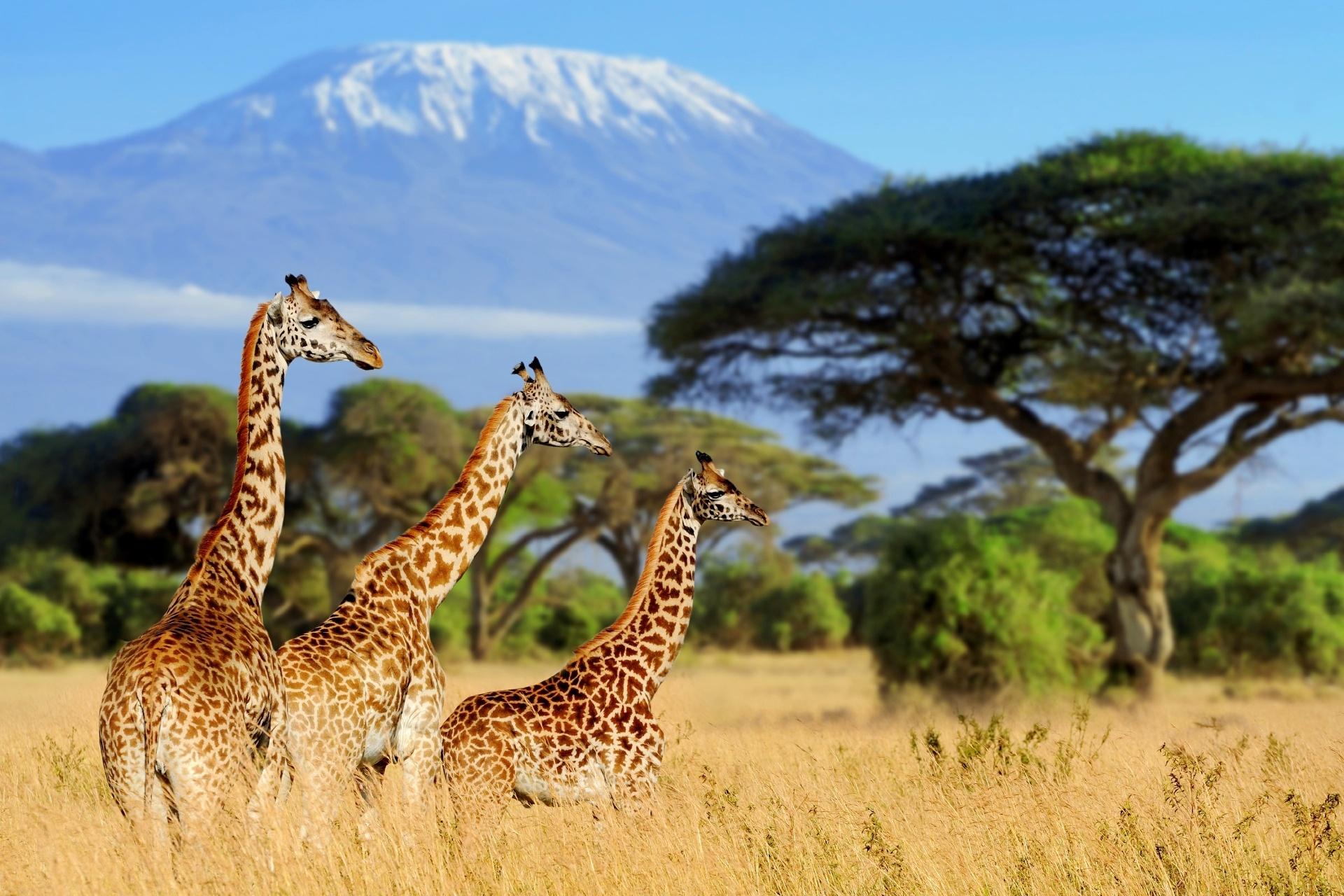 キリマンジャロとキリン マウント・ケニア国立公園 ケニア